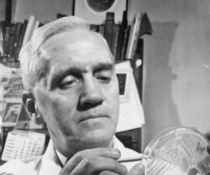 Alexander Fleming investigates the effect of penicillin on bacterial growth.