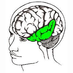 Left temporal cortex