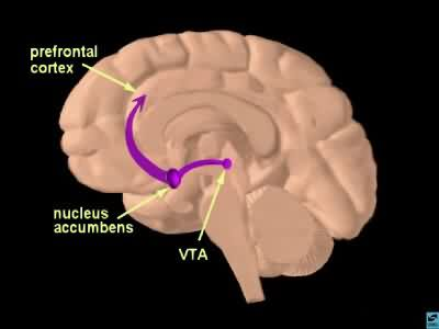 Brain's reward pathway. Image credit: CUNY.
