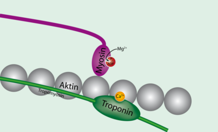 Tropomyosin_unbound_to_actin