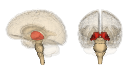 The thalamus. Image credit: Life Sciences Database