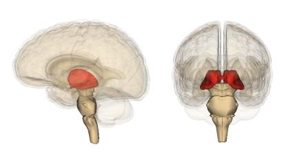 The thalamus. Image credit: Life Sciences Database