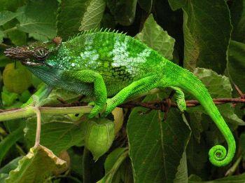 640px-Chameleon_-_Tanzania_-_Usambara_Mountains