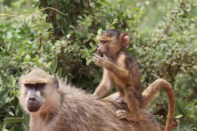 800px-Flickr_-_don_macauley_-_Baby_baboon_getting_a_ride