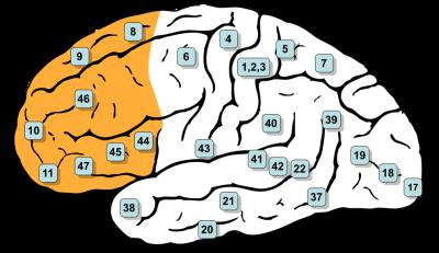992px-Gray726-Brodman-prefrontal.svg