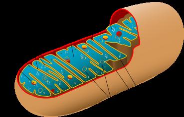 mitochondira
